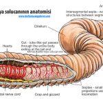 Kırmızı Kaliforniya solucanının anatomisi